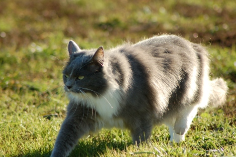 Grey Kitty on the prowl.