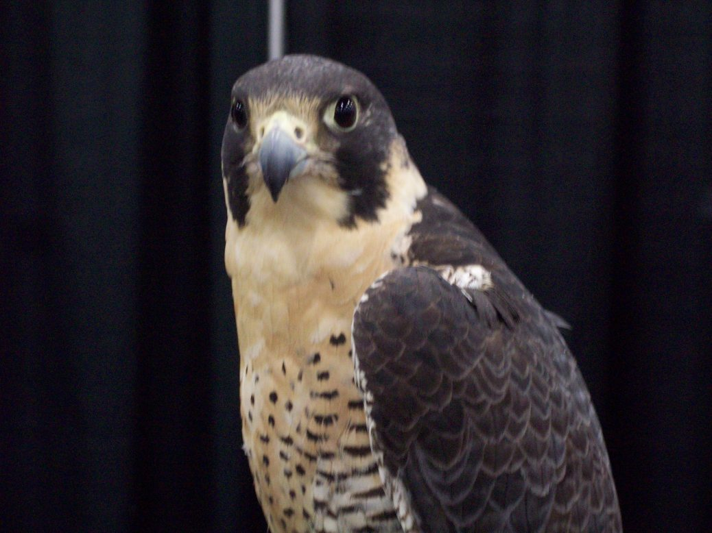 Peregrine Falcon at The Oregon Wine Symposium
