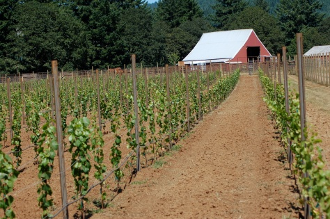 "Our first plantings in August 2011.  This first growing season is known as the vine's ""First Leaf."""