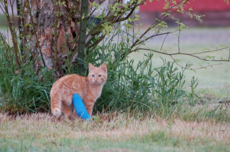 Orange Kitty as a kitten wearing his cast.