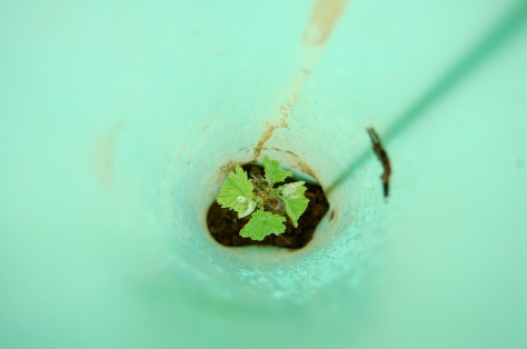 A young vine growing inside its protective tube.