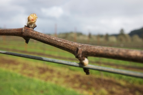 One of the first buds in the vineyard showing leaf separation.  This is what we mean by Bud Break, the vine is awake and the buds are starting to open.