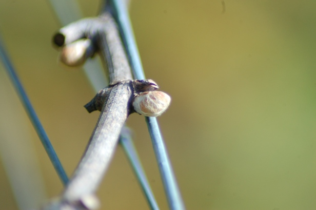 A bud in the vineyard on the verge of breaking!