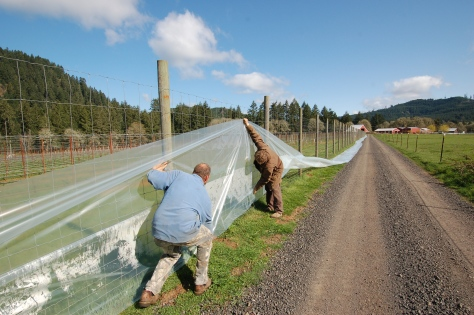 Nick and Bob lay out the plastic curtain we will hang along the vineyard fence if its frosts.