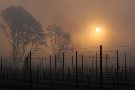 A bit of the magic, the sunrise is spectacular on a frosty, smoky morning in the vineyard.