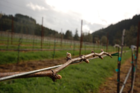 With over 13,000 vines in the vineyard and at least 16 buds per vine, we now have over 200,000 buds to protect.