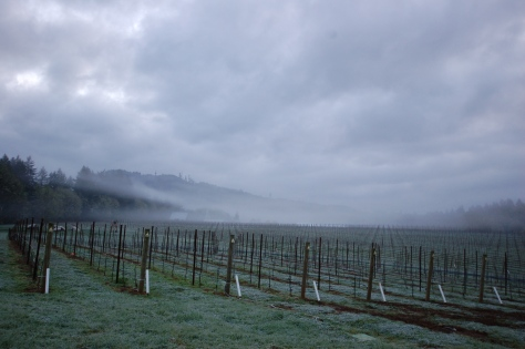 A blanket of fog and frost covers the soon-to-awaken vineyard.