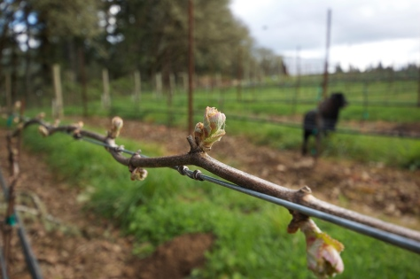 Eventually, each little cluster of leaves will grow into a green shoot that will produce grape clusters and tendrils.