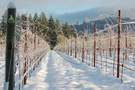 The vineyard during our cold snap last December. The vines were covered in feather-like crystals of ice.