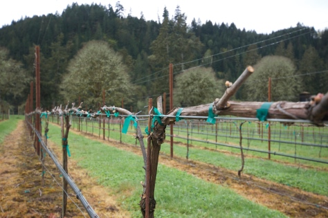 The arm in the foreground is a cordon that was laid out prior to the last growing season.  The arm running into the background is a cane laid out a few months ago