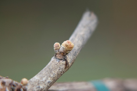 The buds on the cordon arm of the vine still have not shed all of their protective fibers.