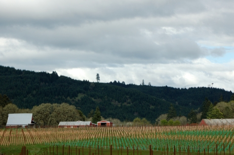 Looking out over the vineyard after our second planting of eight additional acres in 2013.