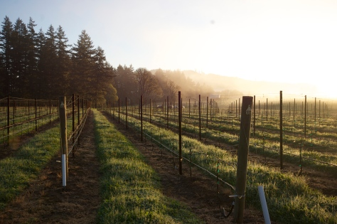 April 10th, 2014, daybreak over the frosty vineyard.