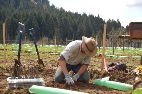 Nathan, The Grape Cowboy, planting a vine