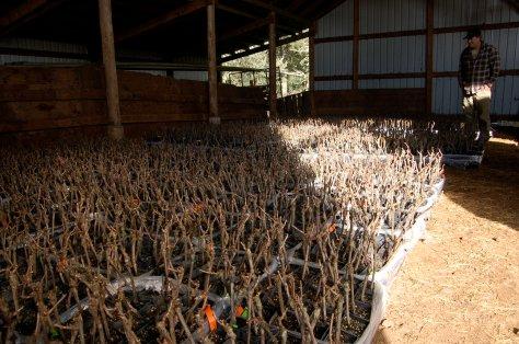 Our future vineyard, 5,445 little vines.