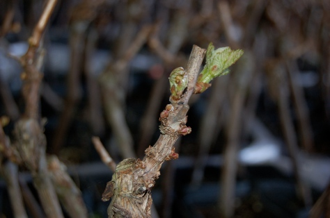 April 3rd, 2011, we have bud break in the hay barn.