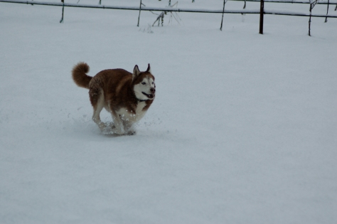 Dodger, the Siberian Husky, really enjoyed the snow.