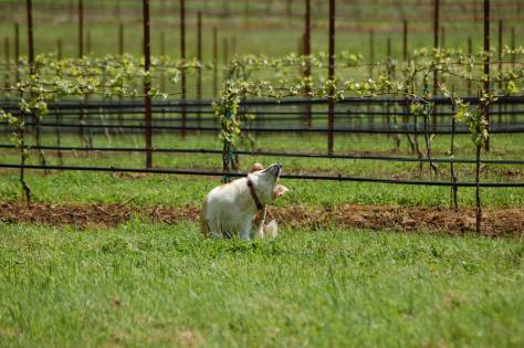 Murphy enjoys a good scratch during our morning walk in the vineyard. As you can see behind him, the vines are leafing out nicely.