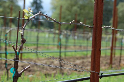By contrast, this is one of the vines in The Dead Zone. It has just one green shoot and a few buds that are still trying to open. Other buds on this vine are showing no signs of life.