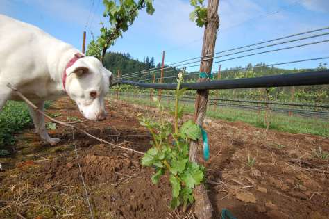 Blue helping out in the vineyard to identify suckers on the vines that need to be removed.
