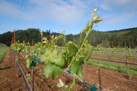 Healthy vines reaching skyward in the vineyard. The shoot in the foreground is almost a foot long.