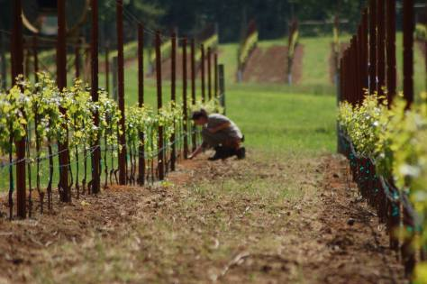 A member of the vineyard crew out suckering vines.